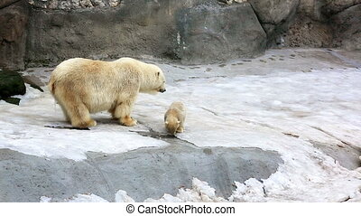 Polar bear and bear-cubs playing - Polar bear and funny cubs...