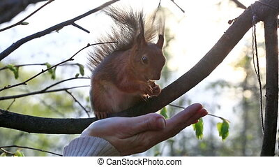 Red squirrel taking nuts from female palm - Woman feeding...