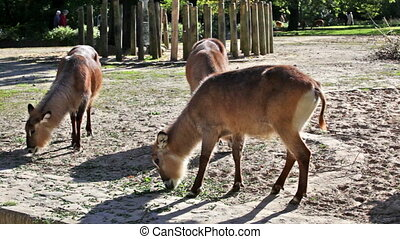Beautiful deers feeding at summer meadow - Herd of deers...