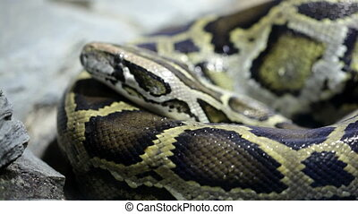 Reticulated python close up - Static reticulated python...