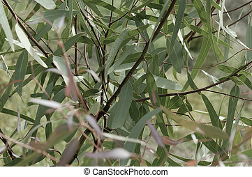 Eucalyptus Leaves - Eucalpt leaves or gum tree leaves on a...