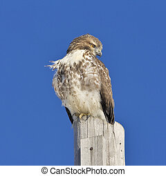 South Ontario Raptors - Red-tailed hawk perching on post....