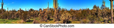 Desert Saguaro Cactus Panorama - Saguaro cactus in the...
