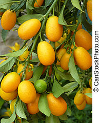 Kumquats - Kumquat fruit on a tree