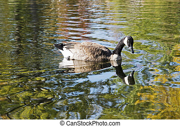 Canada goose in reflecting waters