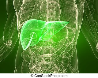 healthy liver - 3d rendered illustration of a transparent...