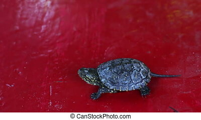 The little river turtle in the hand. - Little turtle moving...