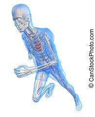 running man - vascular - 3d rendered illustration of a...