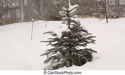 snowy winter fir tree in a park