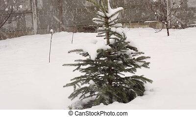 snowy winter fir tree in a park