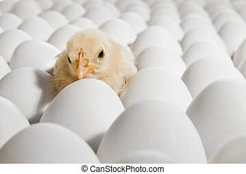 nestling - one yellow chicken nestling on many hen's-eggs,...