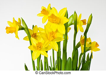 Daffodils - Jonquils before white background