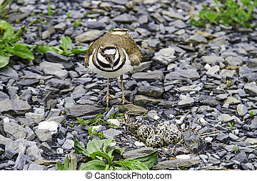 Charadrius vociferus - female Killdeer protecting her nest,...