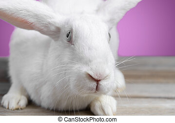 White hare sits on a wooden table, front view, close-up