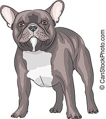 French bulldog. - French Bulldog dog breed, brown, isolated...