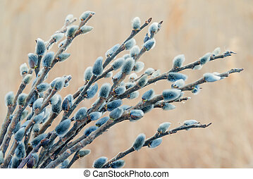 Spring pussy willow branches with fluffy buds