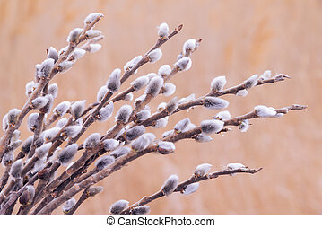 Spring pussy willow branches outdoor - Spring pussy willow...