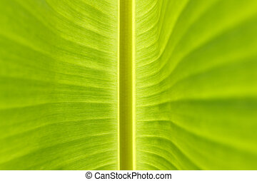 banana leaf background - Detail Banana Leaf Pattern...