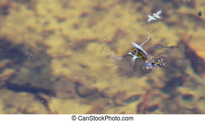 Water striders on water eating spider - A small pond skater...