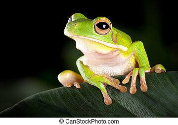 Tree frog in natural environment - White-lipped tree frog or...