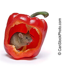 Hot mouse - Little grey mouse hiding in a hot red pepper
