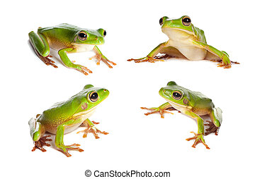 Four frogs on white