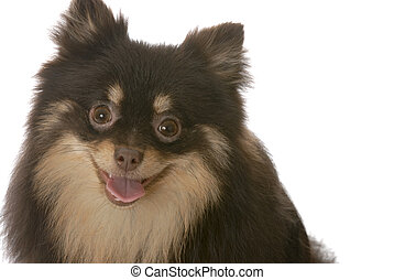 pomeranian puppy with tongue out panting on white background