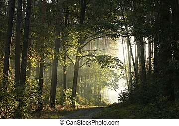 Forest path at dawn - Dirt road through the forest on a...