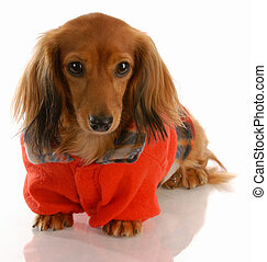 dog wearing red sweater - long haired miniature dacshsund...