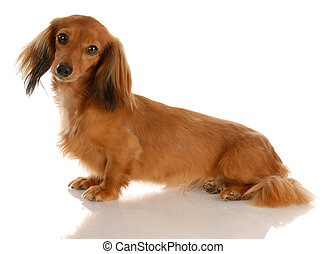 long haired dachshund sitting - miniature long haired...
