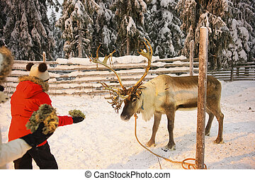 Reindeer feeding by children in Ruka in Lapland in Finland -...