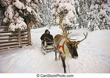 Winter Lapland Reindeer sled racing in Ruka in Finland -...