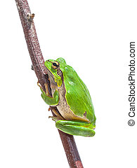 European Tree frog - Green European Tree Frog (Hyla arborea)...
