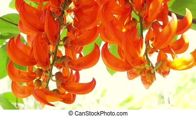 Orange burn exotic tropical flower hanging climbing plants