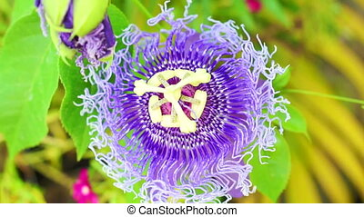 Passiflora flower, passion flower tropical exotic purple one