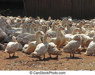 Farm, goose, duck, livestock-farming - Valley of Dordogne ;...