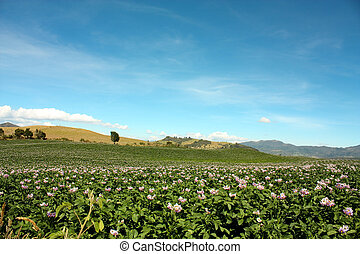 Fields planted in andes mountain - Fields planted with...