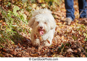 Two havanese dogs playing in forrest in autumn - Two...