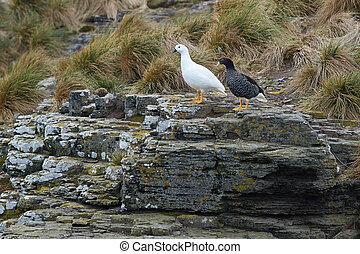 Kelp Goose - Pair of Kelp Geese Chloephaga hybrida...