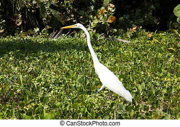 Great White Heron. Tropical forest. Tayrona, Colombia - For...