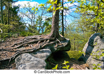 Spruce roots - Spruce tree in the ROCK LABYRINTH, on cragged...
