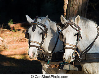 Portrait of two white work horses with harness and blinkers...