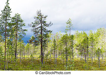Scandinavian wetland - Conifer trees in Scandinavian wetland...