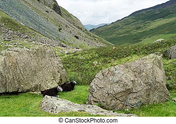 Black sheep at the Honister Pass
