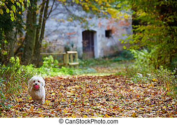 White havanese dog in forrest on sunny autumn day - White...
