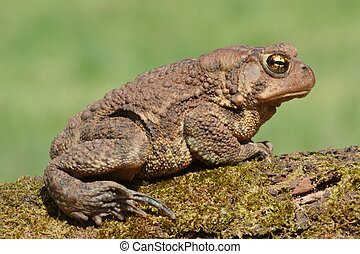 Female American Toad Bufo americanus with a green background...