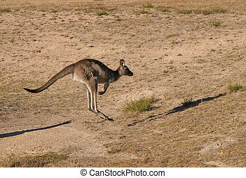 Kangaroo jumping with shadow in Australia