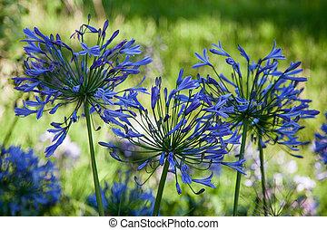 azul, Agapanthus, (africanus),