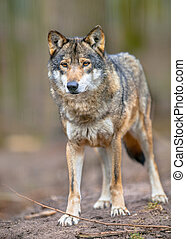 Full body image of a Grey Wolf - The Gray Wolf Canis lupus...