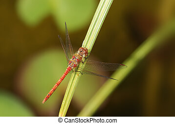 Red dragonfly on a blade of grass